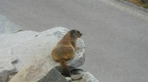 Marmotte qui se réveille après l' hiver